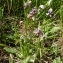 Ans Gorter - Ophrys scolopax subsp. scolopax