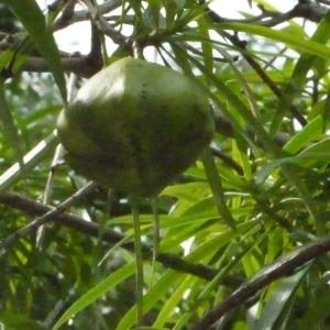 Photographie n°203142 du taxon Thevetia peruviana (Pers.) Schum.