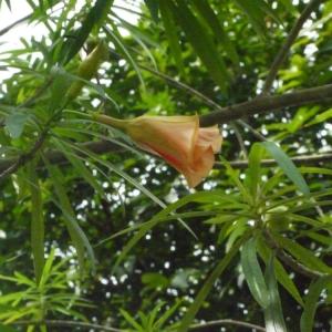 Thevetia peruviana (Pers.) Schum. (Poison des flèches)