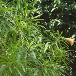 - Thevetia peruviana (Pers.) Schum.