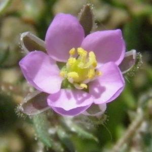 Arenaria membranacea Gaterau (Spergulaire rouge)