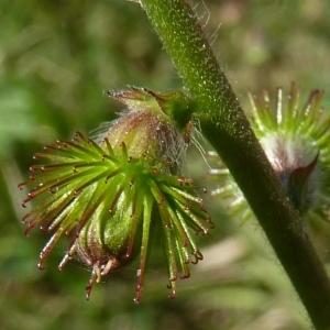 - Agrimonia procera Wallr. [1840]