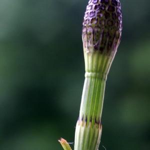 Equisetum fluviatile L. (Prêle des rivières)