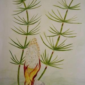 - Equisetum palustre L.