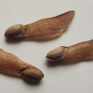 - Pinus wallichiana A.B.Jacks. [1947]