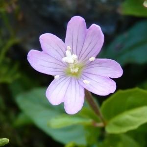 Chamaenerion montanum (L.) Scop. (Épilobe des montagnes)
