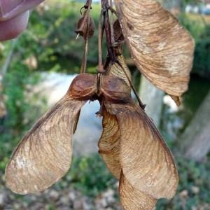 Photographie n°203607 du taxon Acer pseudoplatanus L.