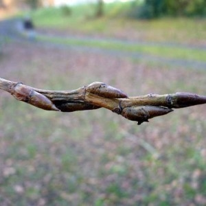 Photographie n°203643 du taxon Populus nigra L.