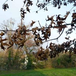 Photographie n°203646 du taxon Quercus palustris Münchh.