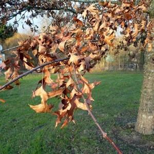 Photographie n°203649 du taxon Quercus palustris Münchh.