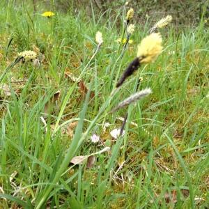 Photographie n°203721 du taxon Carex flacca Schreb.