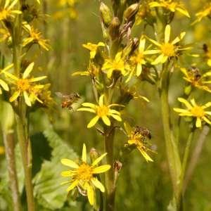 Ligularia sibirica (L.) Cass. (Ligulaire de Sibérie)
