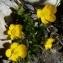 Ans Gorter - Ranunculus carinthiacus Hoppe [1826]