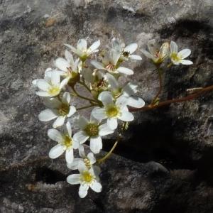 Photographie n°203789 du taxon Saxifraga paniculata
