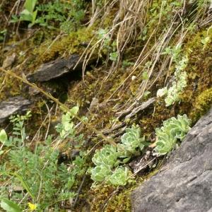 Photographie n°203812 du taxon Saxifraga paniculata Mill.