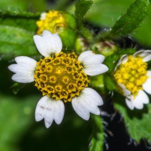 Galinsoga quadriradiata Ruiz & Pav. (Galinsoga cilié)