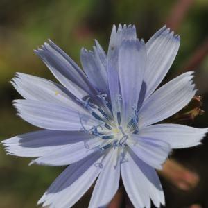 Cichorium intybus L. (Chicorée amère)