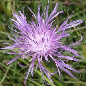 - Centaurea jacea subsp. timbalii (Martrin-Donos) Braun-Blanq. [1952]