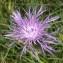 Ans Gorter - Centaurea jacea subsp. timbalii (Martrin-Donos) Braun-Blanq. [1952]