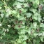Ans Gorter - Aristolochia baetica L. [1753]