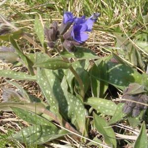 - Pulmonaria longifolia subsp. cevennensis Bolliger