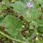 Ans Gorter - Erodium malacoides