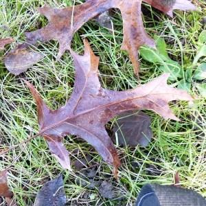 Photographie n°204077 du taxon Quercus palustris Münchh.
