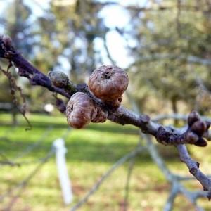 Photographie n°204080 du taxon Quercus palustris Münchh.