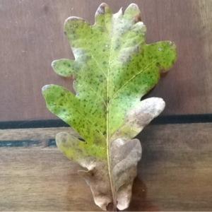 Photographie n°204142 du taxon Quercus robur L. [1753]