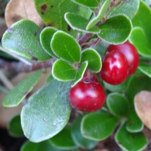 - Arctostaphylos uva-ursi var. crassifolius Braun-Blanq. [1957]
