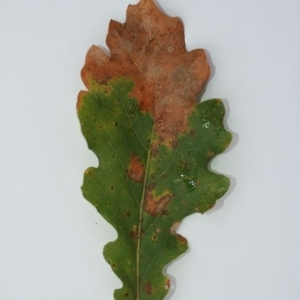 Photographie n°204203 du taxon Quercus pubescens Willd. [1805]