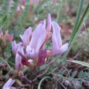 - Astragalus monspessulanus L.