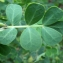 Liliane Roubaudi - Coronilla valentina subsp. glauca (L.) Batt. [1889]