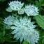 Ans Gorter - Astrantia major subsp. involucrata (W.D.J.Koch) Ces. [1844]