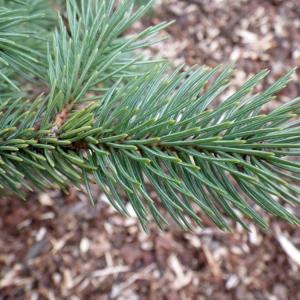 Photographie n°204300 du taxon Picea pungens Engelm. [1879]