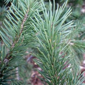 Picea pungens Engelm. (Épicéa du Colorado)