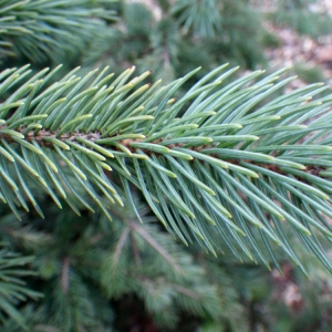 - Picea pungens Engelm. [1879]
