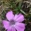 Ans Gorter - Dianthus pavonius