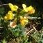 Ans Gorter - Lotus corniculatus subsp. alpinus