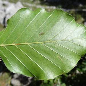 Photographie n°204381 du taxon Fagus sylvatica f. sylvatica