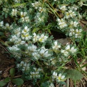 - Paronychia polygonifolia (Vill.) DC. [1805]