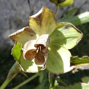Photographie n°204539 du taxon Helleborus foetidus L. [1753]