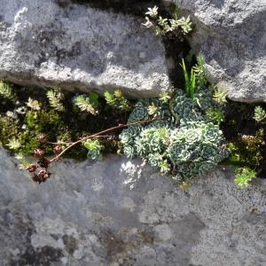 Photographie n°204569 du taxon Saxifraga paniculata Mill.
