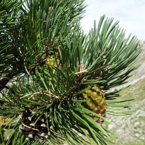 - Pinus mugo subsp. uncinata (Ramond ex DC.) Domin