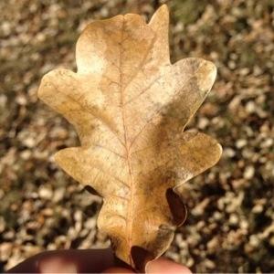 Photographie n°204680 du taxon Quercus pubescens Willd. [1805]