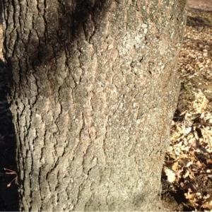 Photographie n°204681 du taxon Quercus pubescens Willd. [1805]