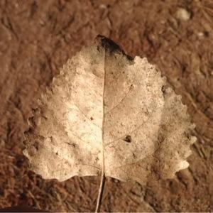 Photographie n°204686 du taxon Tilia platyphyllos Scop. [1771]