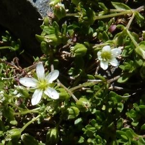 Photographie n°204705 du taxon Arenaria ciliata L. [1753]