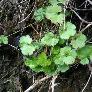 Photographie n°204973 du taxon Saxifraga granulata L.