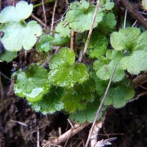 Photographie n°204974 du taxon Saxifraga granulata L.